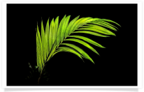 Costa Rican Fern with Black Background