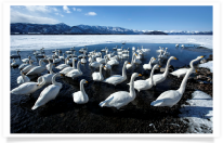 Group of Swans in Lake