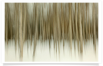 Stand of Blurred Birch Trees