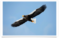 Soaring Steller's Sea Eagle