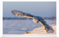 Snowy Owl Morning Flight