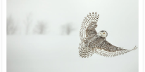 Snowy Owl Looking Back Panoramic