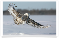 Snowy Owl Looking Back