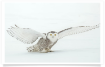 Snowy Owl Standing Wings Outstretched 2