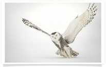 Snowy Owl Strike Liftoff