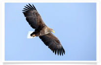 Flying White Tailed Eagle