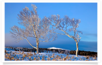 Hoarfrost Trees at Dawn with Mountain Backdrop