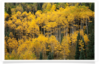 Forest of Golden Aspens