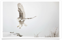 Snowy Owl Rocky Mound Lift-off