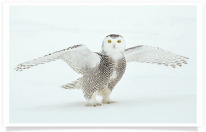Snowy Owl Standing Wings Outstretched