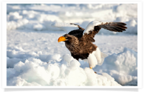 Steller's Sea Eagle on Ice