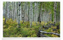 Aspen Grove and Rail Fence