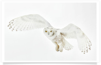 Light Colored Snowy Owl Hovering 2