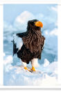 Steller's Sea Eagle on Snow