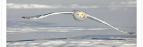 Snowy Owl Low Glide