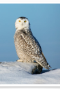 Snowy Owl Rocky Perch