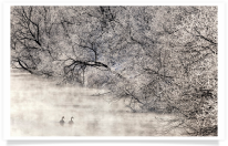 Swans in Water with Frosty Trees