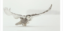Snowy Owl Wings Liftoff