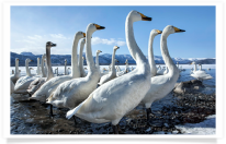 Group of Wading Swans