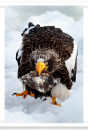 Sea Eagle with Fish in Mouth
