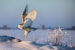 Snowy owl lifting off just after sunrise