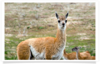 Guanaco Close-up