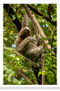 Three-toed Sloth Hanging onto a Tree