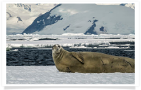 adventure; antarctic; antarctic peninsula; antarctica; awe; bay; beautiful; blue; cold; crabeater; cruise; dramatic; environment; extreme; floating; frozen; glacial; glacier; gorgeous; ice; iceberg; icecap; icy; landscape; majestic; nature; ocean; pack ice; peninsula; polar; pole; pristine; remote; sea; seal; seascape; snow; travel; water; white; wilderness; winter; wonderland