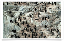 adventure; antarctic; antarctic peninsula; antarctica; awe; beautiful; chick; cold; colony; dramatic; environment; extreme; gentoo; ice; island; landscape; nature; outcropping; penguin; peninsula; petermann; polar; pole; pristine; remote; steep; travel; wilderness; winter; wonderland